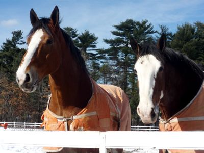 Clydesdale Horses photo, Barry Farm, Lakeville, Mass.