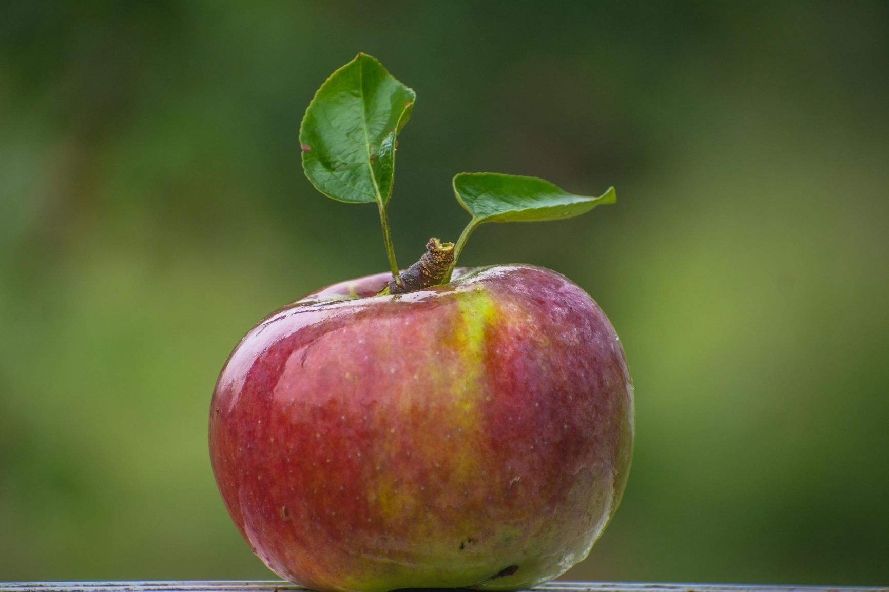 a perfect apple on the tree at Red Apple Farm in Phillipston, Mass.