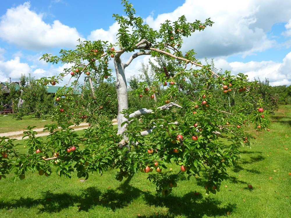 Apple tree at Red Apple Farm in Phillipston, MA.
