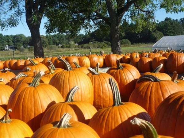 Fall pumpkins at Tangerini Farm, Millis MA