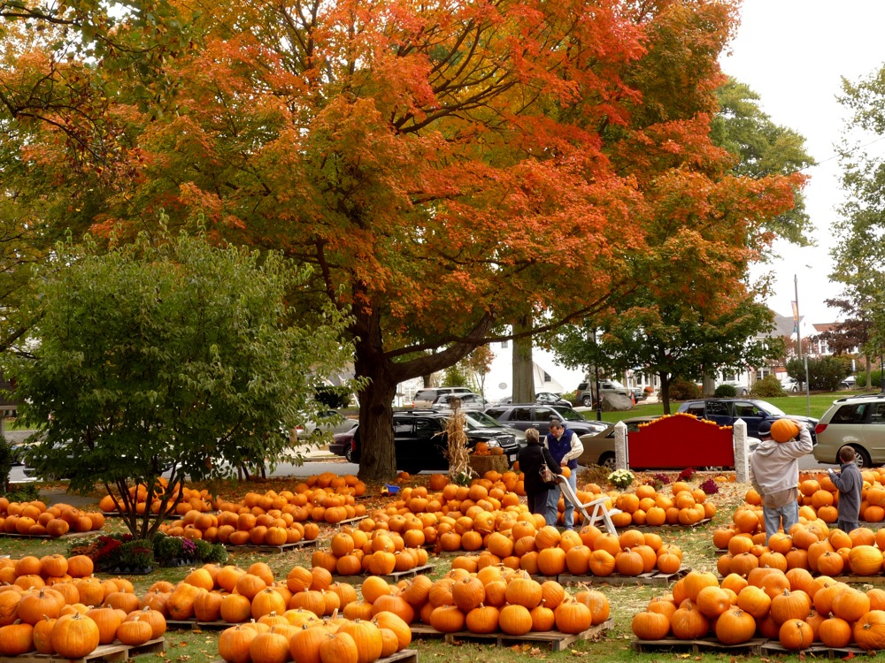 Pumpkin patch in downtown Walpole MA