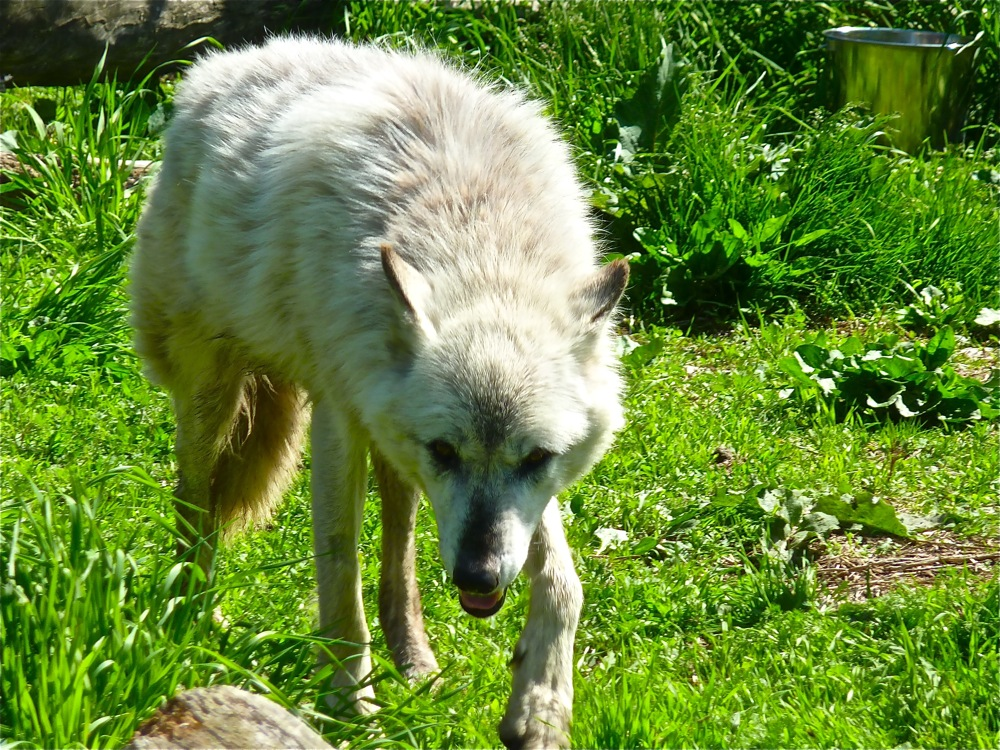 Timber wolf romas the land at Wolf Hollow in Ipswich MA